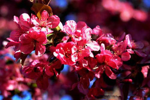 高原之火海棠图片